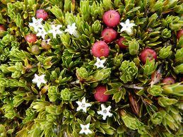 Carpet Heath A Kosciuszko Wild Flower
