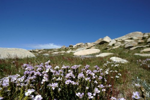 Alpine flowers on Mt Kosciuszko.