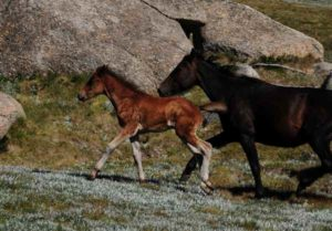 A Mother and Foal Brumby running near Thredbo