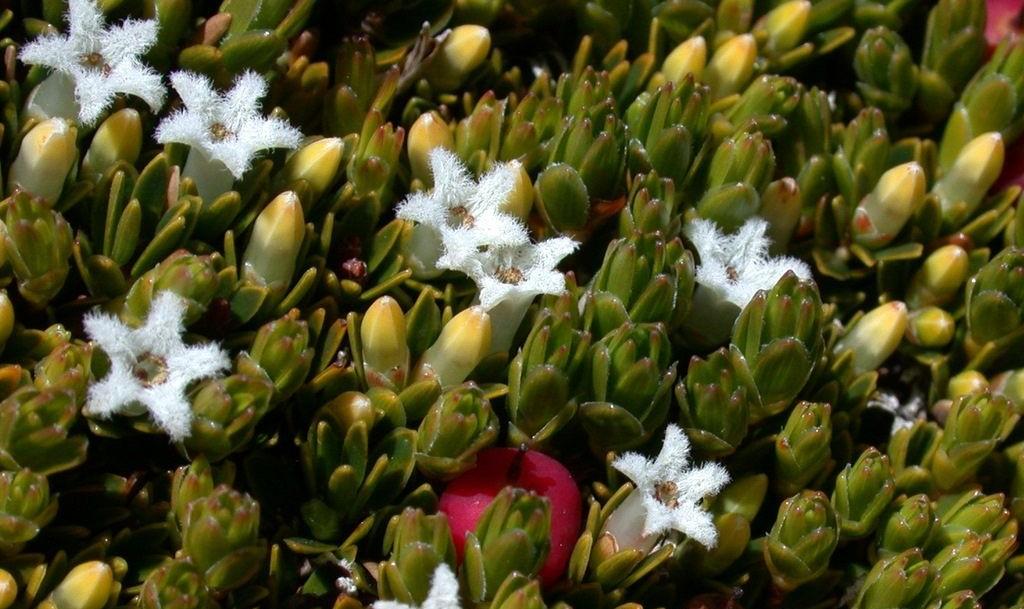 Flowers near Thredbo alpine apartments