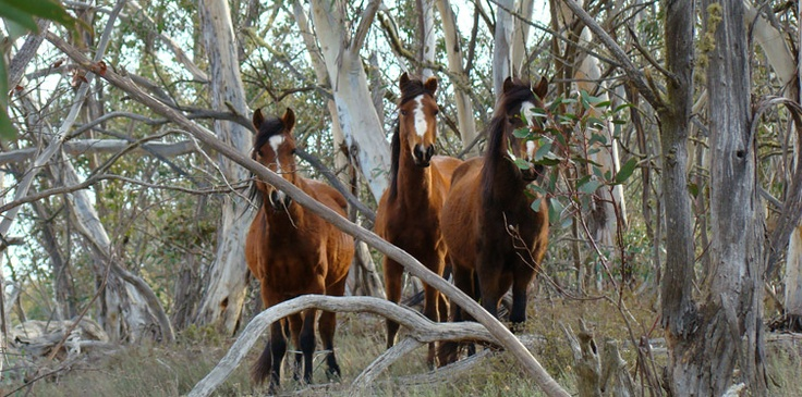 Horses Thredbo accommodation